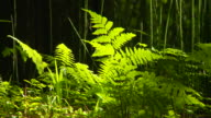 Close up of ferns in redwood forest