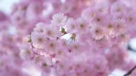Close up of flowering cherry branches in spring, Prunus serrulata. Bavaria, Germany.