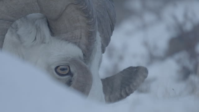 Close up of full horned Mountain Sheep