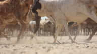 Close up of goats running past