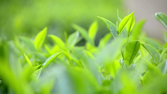 Close Up of Green Tea Leaves