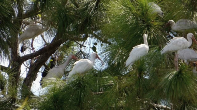 Close up of Ibis in a Pine Tree