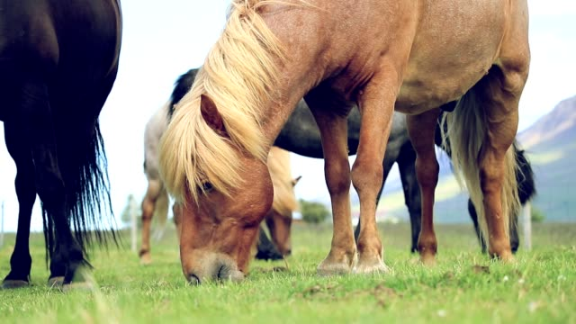 Close up of Icelandic horses grazing on a pasture, Slow motion