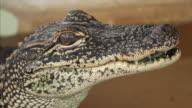 Close Up of Juvenile Alligator Face