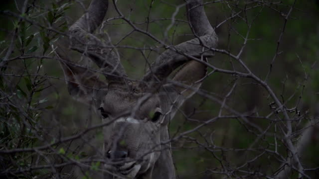 Close up of Kudu bull feeding off guarri tree leaves and chewing/ Kruger National Park/ South Africa