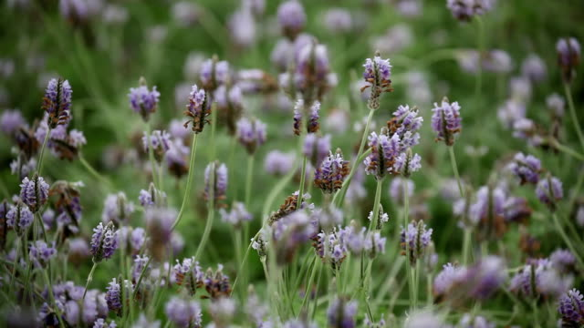 A close up of lavender plants swaying in the breeze