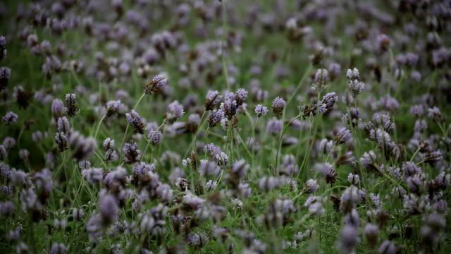 Eine Nahaufnahme von Lavendel Pflanzen schwanken im Wind