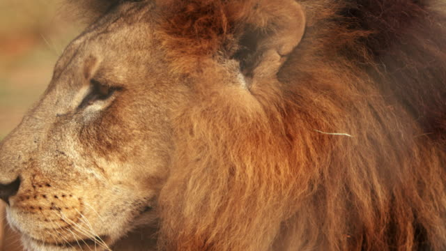 Close up of male lion standing still