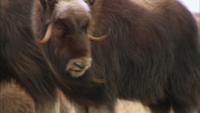 Close up of Musk Ox