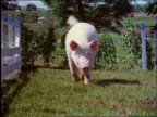 close up of pig walking towards camera in yard / Brazil