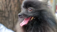 Close up of Pomeranian dog