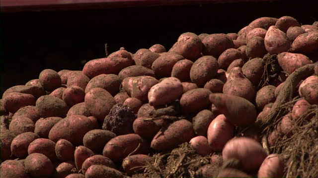 Close up of potatoes as they are loading into the bins, with a worker inspecting them.