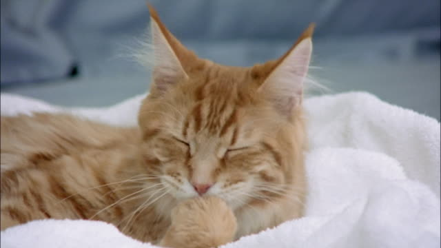 Close up of red tabby Maine coon grooming itself while lying on laundry on top of bed