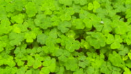 Close up of redwood sorrel