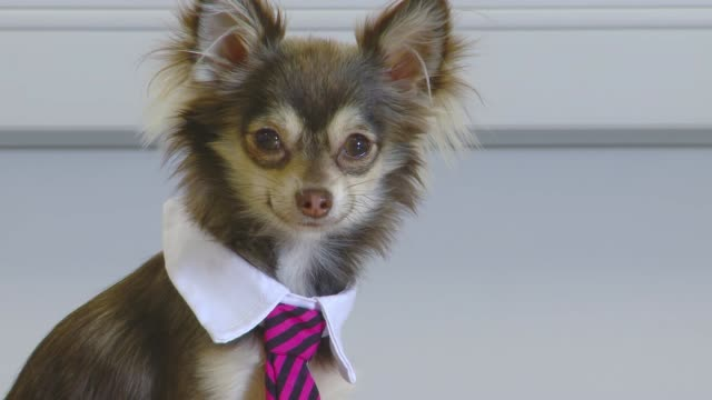Close up of smiling Dog in a tie