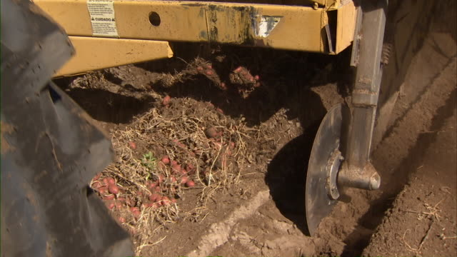 Close up of the combine gathering the overturned potatoes from the ground.