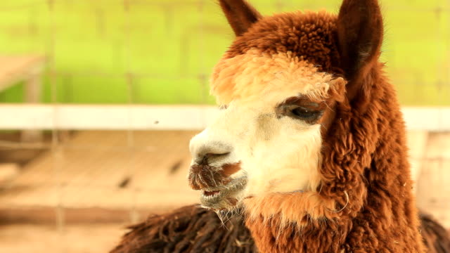 Close up of the eyes and face of brown alpaca in thailand