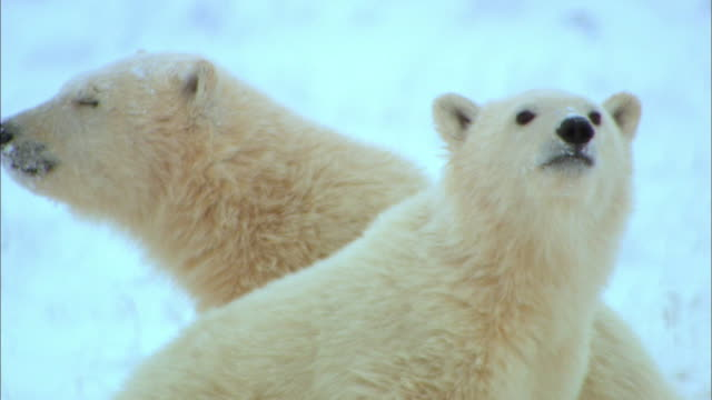 Close up of two bear cubs on snowfield