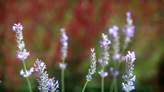 HD: Close up of violet Lavenders Flowers