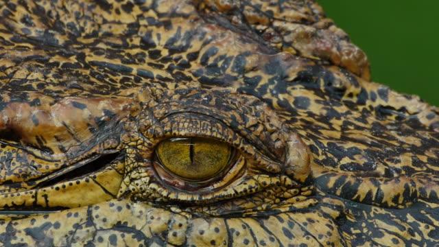 Närbild på ögat krokodil.