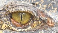 Close up on Eye inflammation Crocodile.