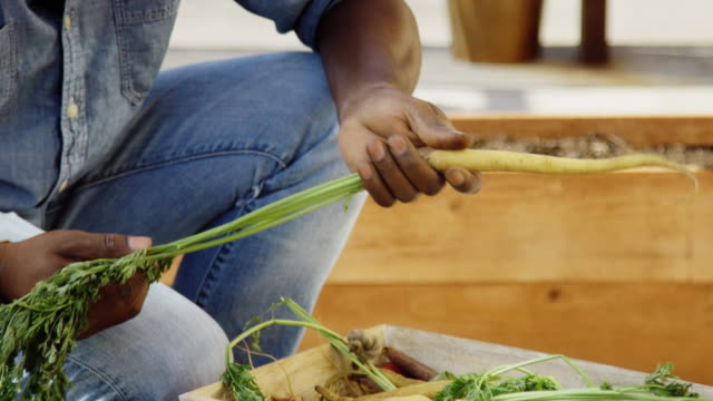 Close Up on Man's Hands Picking Carrots