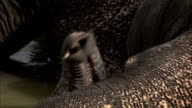 Close up on the end of an elephant's trunk. Available in HD