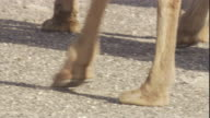 Close up on the feet of bactrian camels walking through the Gobi Desert. Available in HD.