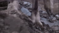 Close up on the hooves of a markhor as it negotiates a scree slope. Available in HD.