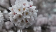 A close up on white cherry blossom in the gardens of ShokokuJi a Buddhist temple complex built in the northwestern part of the city of Kyoto in the...