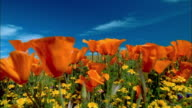 Close up orange poppies swaying in wind in field of yellow buttercups / Lancaster, CA