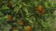 Close up orange tree at Generalife Gardens/ Alhambra, Spain