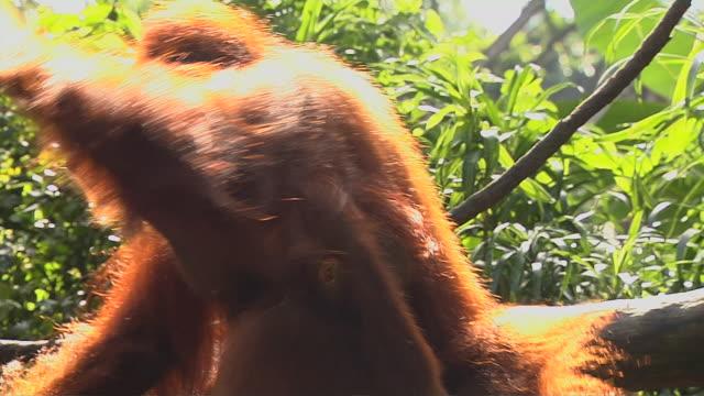 Close Up Orangutan Carrying Baby Jurong Singapore