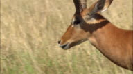 Close up pan head of impala walking through grass / Kenya, Africa