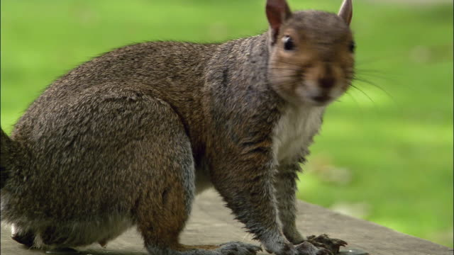 Close up pan squirrel turning head to look at CAM and scampering away