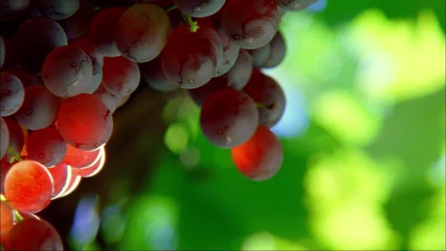 Close up pan sunlight hitting red grapes on vine at Long Vineyards/ Napa Valley, California