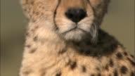 Close up pan up from spotted fur to cheetah looking at CAM / Masai Mara, Kenya