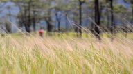 close up panning : dry grass is behind of Pine tree forest  in Phu Soi Dao National Park