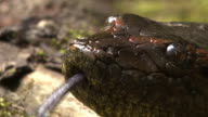 Close Up pan-right - An anaconda flicks its tongue. / Sao Paulo, Brazil