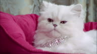 Close up Persian cat wearing diamond collar lying in pink cat bed