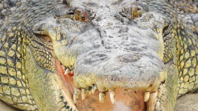 närbild foto av en krokodil med öppna jaws.