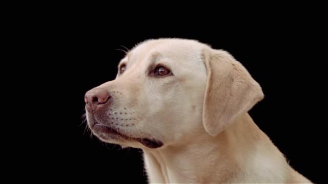 Close up portrait of yellow labrador retriever barking