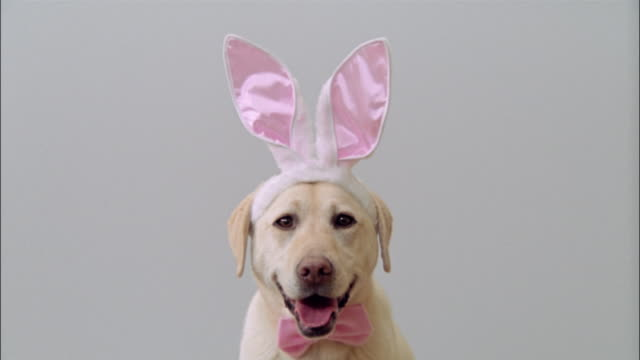 Close up portrait of yellow labrador retriever wearing bunny ears and a pink bowtie