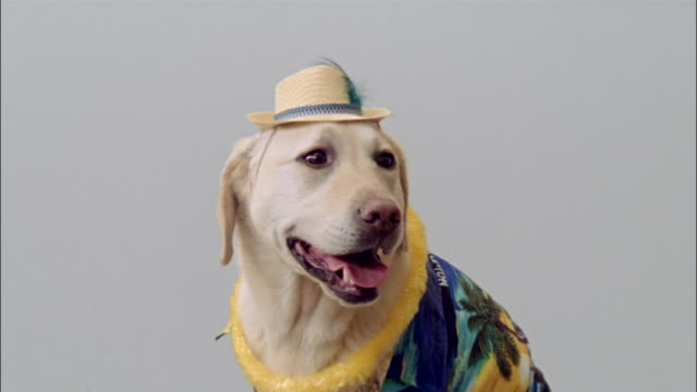 Close up portrait of yellow labrador retriever wearing hat, lei and hawaiian shirt