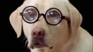 Close up portrait of yellow labrador retriever wearing thick eyeglasses