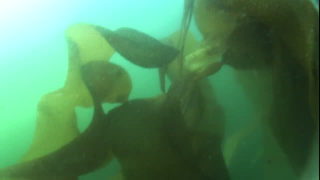 'Close Up push-in-Seaweed undulates in an ocean current. / Alaska, USA'
