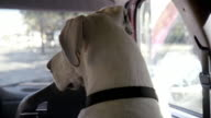 Close up rear view of Great Dane riding in back seat of car