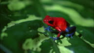Close up red and blue poison dart (blue jeans) frog sitting on leaf at the Ranario frog pond / Monteverde, Costa Rica