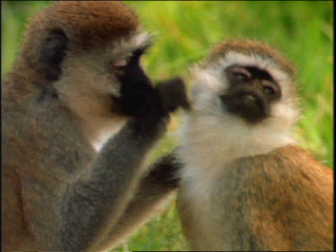 close up savannah (vervet) monkey picking at + biting hair of second monkey / Africa