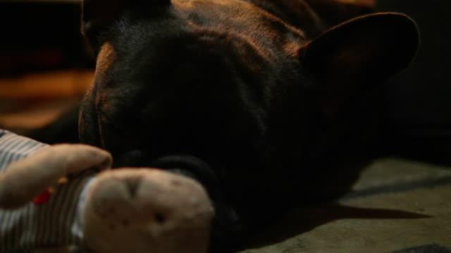 Close up shot of a cute sad looking little dog, black French bulldog.